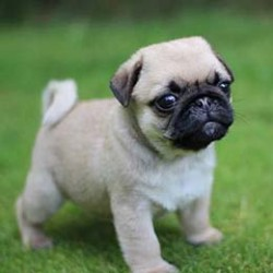 Pugs make me happy