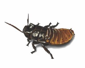 madagascar-hissing-cockroach-illustration_1500x1200